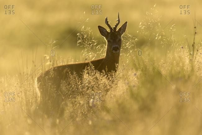 Roe buck (Capreolus capreolus) stood in rough grassland in evening light, Scotland. September
