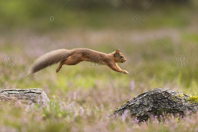 Red Squirrel (Sciurus vulgaris)  in summer coat leaping between fallen logs Scotland, UK. September