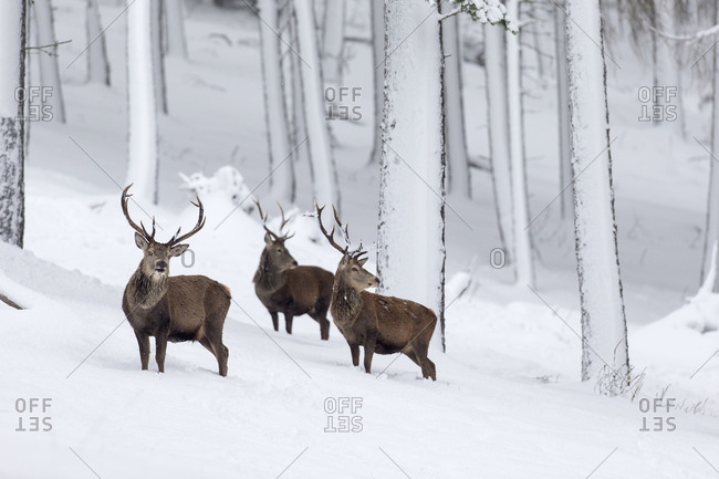 Red Deer (Cervus elaphus) three stags in snow-covered pine forest. Scotland, UK. December