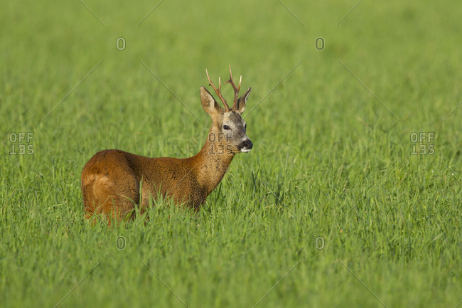 Roe deer buck (Capreolus capreolus) in field, Scotland, UK, August