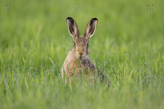Brown hare (Lepus europaeus) adult in arable field, Scotland