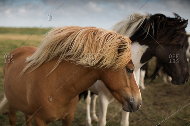 Horse with long crest and mane on open field