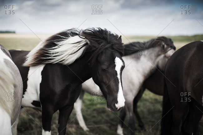 Group of horses with black and white mane on open grass field