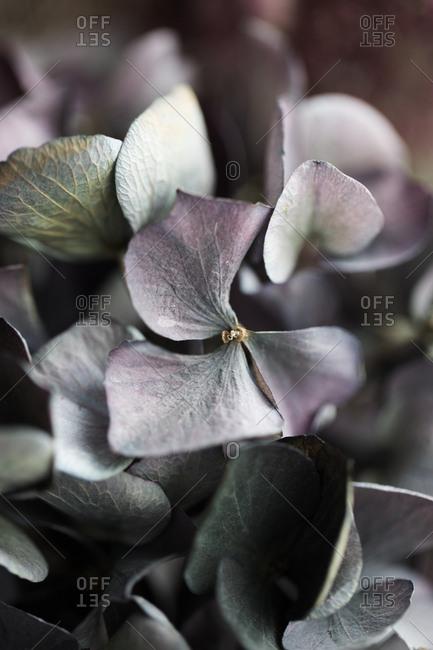 Fresh Hydrangea flowers