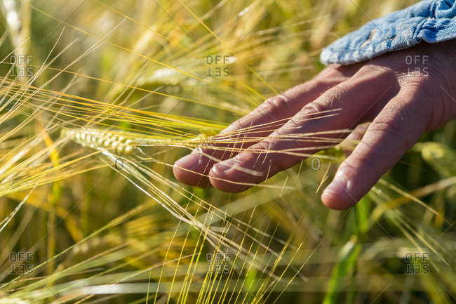 Close-up of hand touching golden wheat in field on background of bright sunlight.