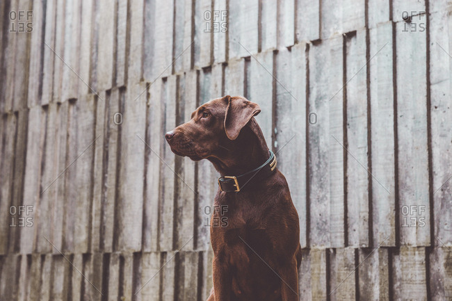 Adorable brown dog sitting in front of gray wooden wall.