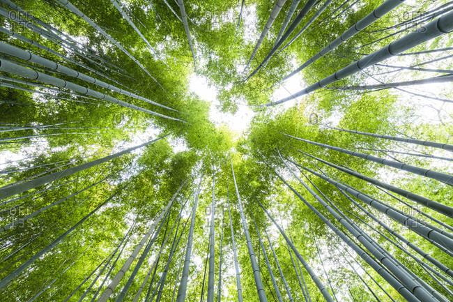 Low Angle View of Top of Bamboo Forest, Arashiyama, Kyoto, Japan