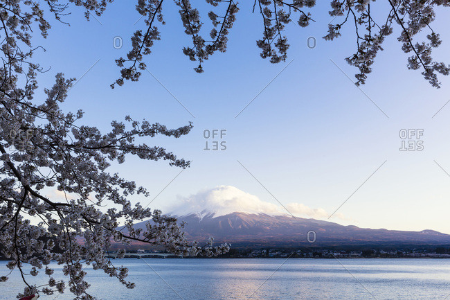 Blooming Cherry Tree Branches at Lake Kawaguchi in front of Mount Fuji, Yamanashi Prefecture, Japan