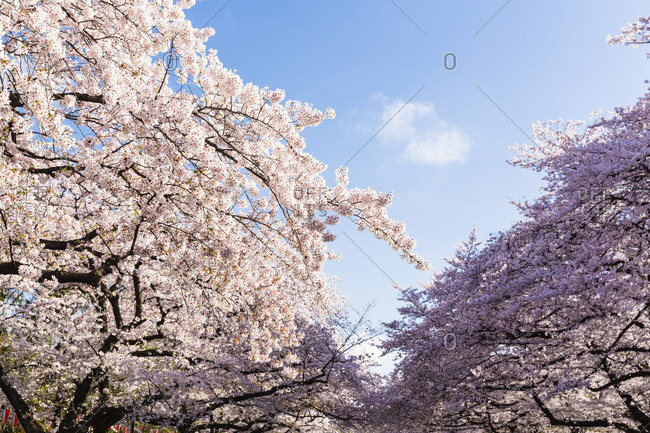 Blooming Cherry Trees in Spring, Ueno Park, Taito-ku, Tokyo, Japan