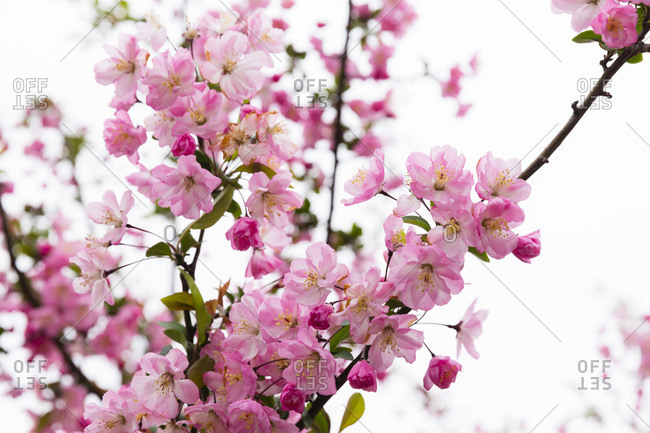 Close-up of Blooming Pink Cherry Tree, Senso-ji Temple, Asakusa, Taito-ku, Tokyo, Japan
