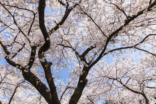 Blooming Cherry Trees, Shinjuku Gyoen National Garden, Shinjuku, Tokyo, Japan