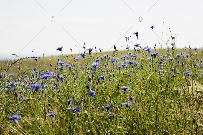 Field of Blue Cornflowers in Summer, Denmark