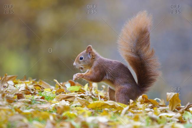 Eurasian Red Squirrel (Sciurus vulgaris) in Autumn, Hesse, Germany