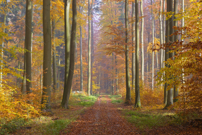 Path through European Beech (Fagus sylvatica) Forest in Autumn, Spessart, Bavaria, Germany