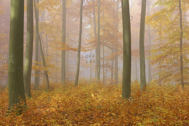 European Beech (Fagus sylvatica) Forest on Misty Morning in Autumn, Nature Park, Spessart, Bavaria, Germany