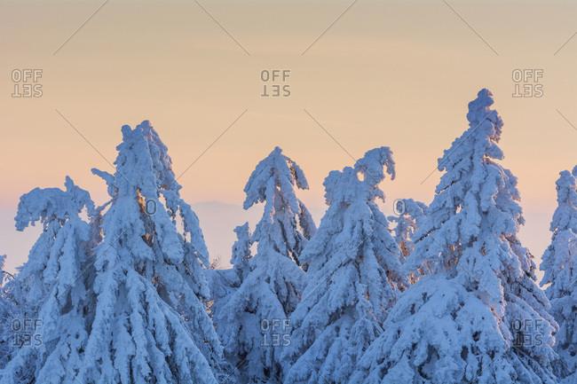 Snow Covered Conifers Trees at Dawn. Winter, Grosser Feldberg, Frankfurt, Taunus, Hesse, Germany