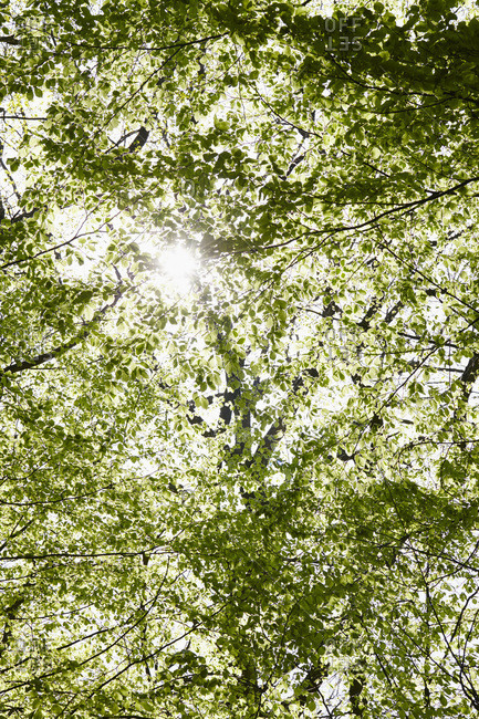Low Angle View of Green Leaves of  Tree and Sunlight in Forest in Spring, Hamburg, Germany