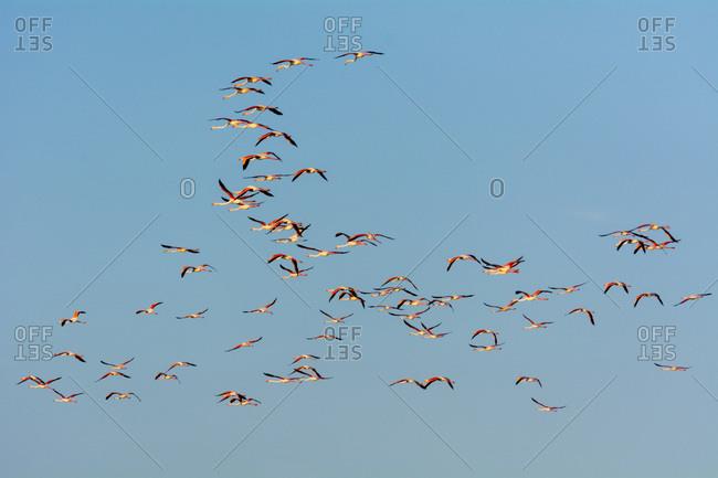 Greater Flamingos (Phoenicopterus roseus) in Flight, Saintes-Maries-de-la-Mer, Parc Naturel Regional de Camargue, France