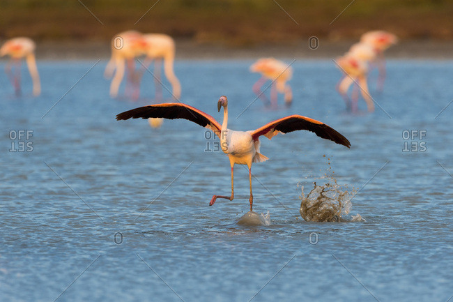 Greater Flamingo (Phoenicopterus roseus) Taking off, Saintes-Maries-de-la-Mer, Parc Naturel Regional de Camargue, France