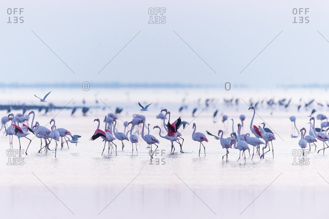 Greater Flamingos (Phoenicopterus roseus) Wading in Water, Saintes-Maries-de-la-Mer, Parc Naturel Regional de Camargue, France