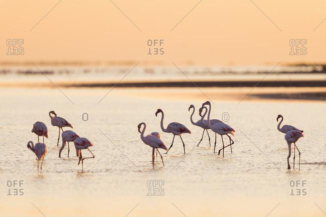Greater Flamingos (Phoenicopterus roseus) at Sunrise, Saintes-Maries-de-la-Mer, Parc Naturel Regional de Camargue, France