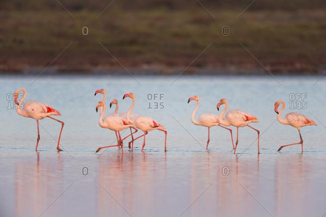 Greater Flamingos (Phoenicopterus roseus) at Dusk, Saintes-Maries-de-la-Mer, Parc Naturel Regional de Camargue, France