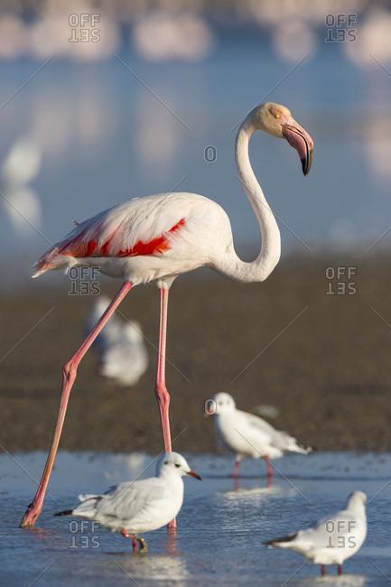 Greater Flamingo and Black-headed Gulls, Saintes-Maries-de-la-Mer, Parc Naturel Regional de Camargue, France
