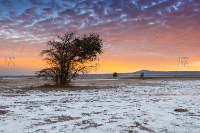 Salt Crust and Tamarugo Tree, Atacama Salt Lake, Atacama Desert, Chile