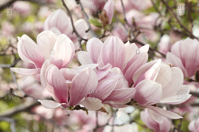 Close-up of Magnolia Blossoms
