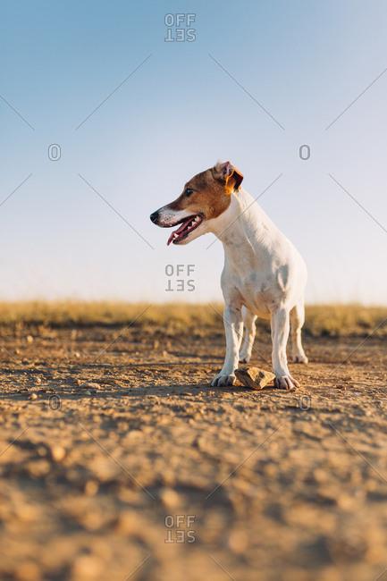 Panting dog standing in desert area
