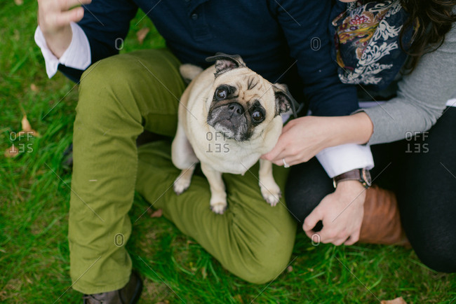 Pug sitting on person's lap and being petted
