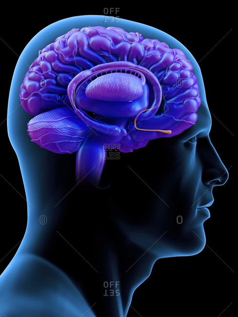 Brain olfactory bulb, illustration