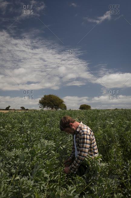 Farmer checking plants in field
