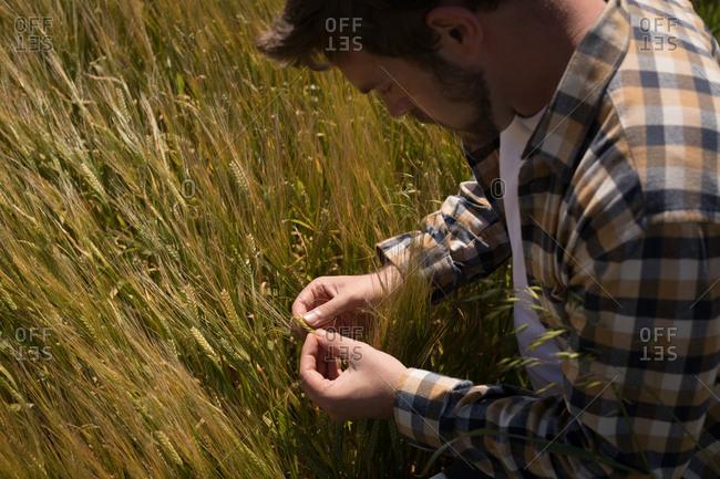 Farmer checking wheat plants in field