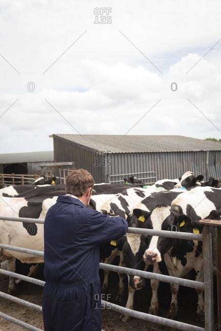 Milker looking at herd of cattle in farm