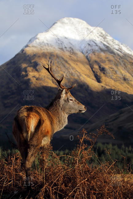 A Red Deer Stag standing in front of a snow peeked mountain in the Scottish highlands