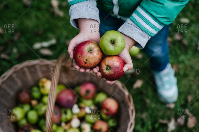 Little boy holding fresh picked apples