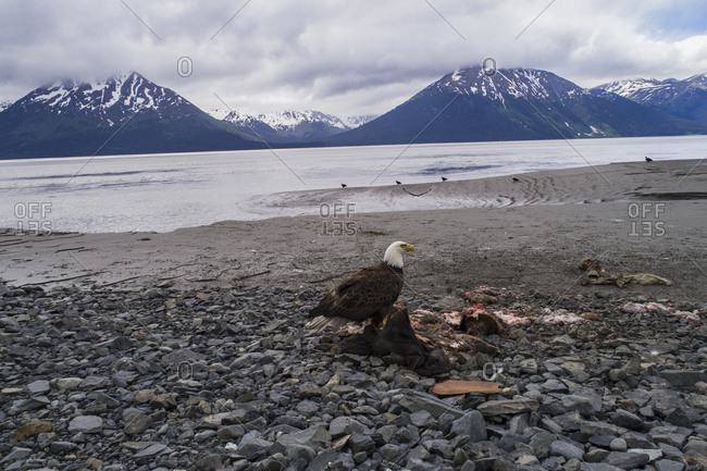 Bald eagle perching on dead animal against sky, Anchorage, Alaska, USA