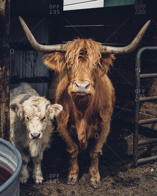 Portrait of highland cattle and calf standing in barn