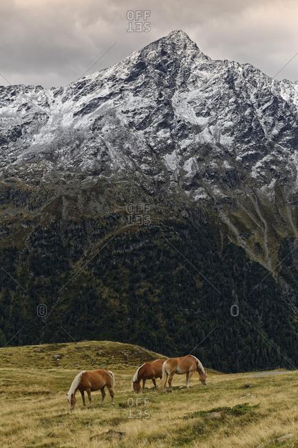 Austria- Tyrol- Oetztal- Soelden- horses on alpine meadow