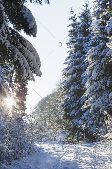 Germany- North Rhine-Westphalia- Eifel National Park- snow-covered path and firs at backlight