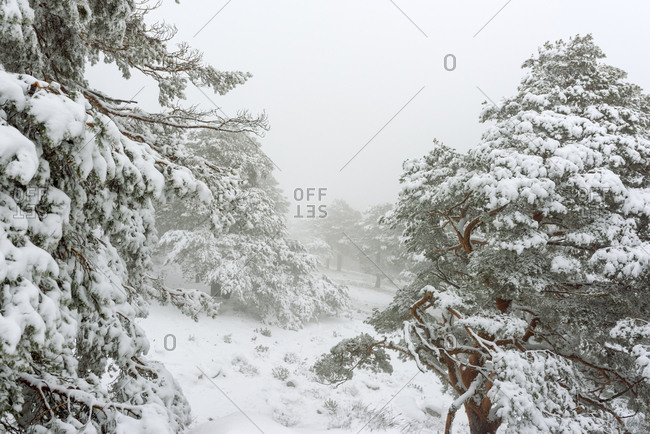 Winter landscape with snow covered pines trees and fog