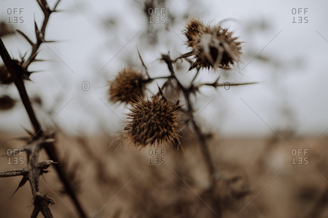 Dried thorny plant