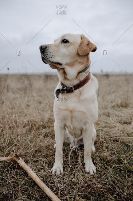 Labrador Retriever sitting by a stick in a field