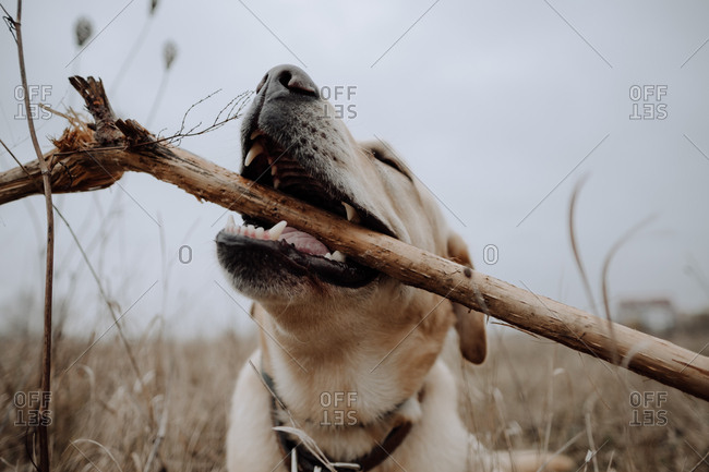 Labrador Retriever chewing on a stick outdoors