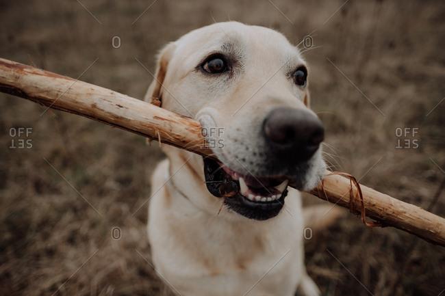Close up of a Labrador Retriever chewing on a stick outdoors