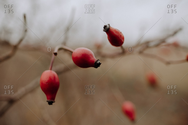 Rose hip in autumn