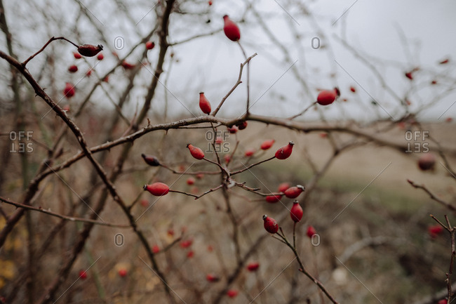 Rose hip berry bush in autumn
