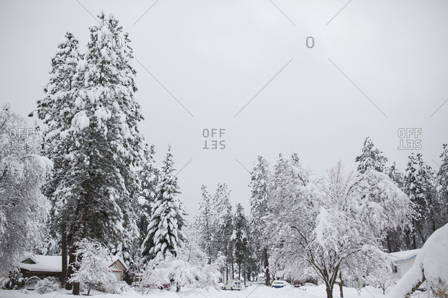 Tall trees in a winter landscape