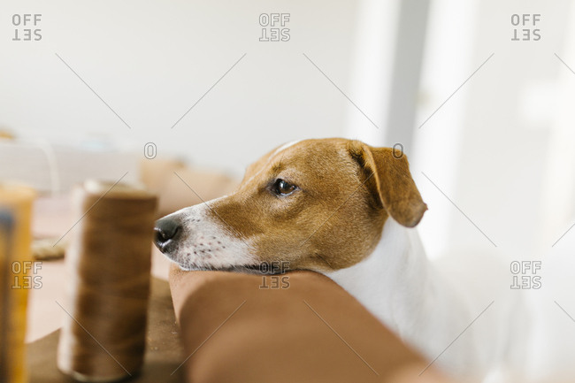 Portrait of a Jack Russell Terrier resting his head